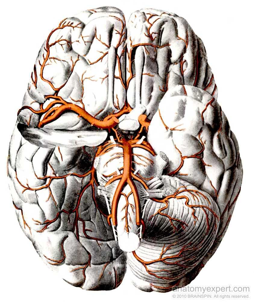 anatomyEXPERT - Posterior cerebral artery - Structure Detail