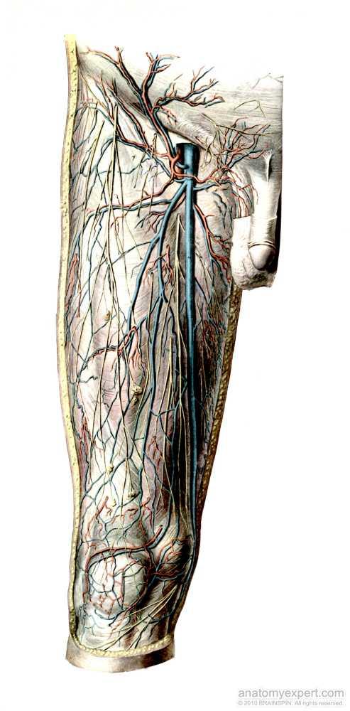 anatomyEXPERT - Superficial epigastric artery - Structure Detail