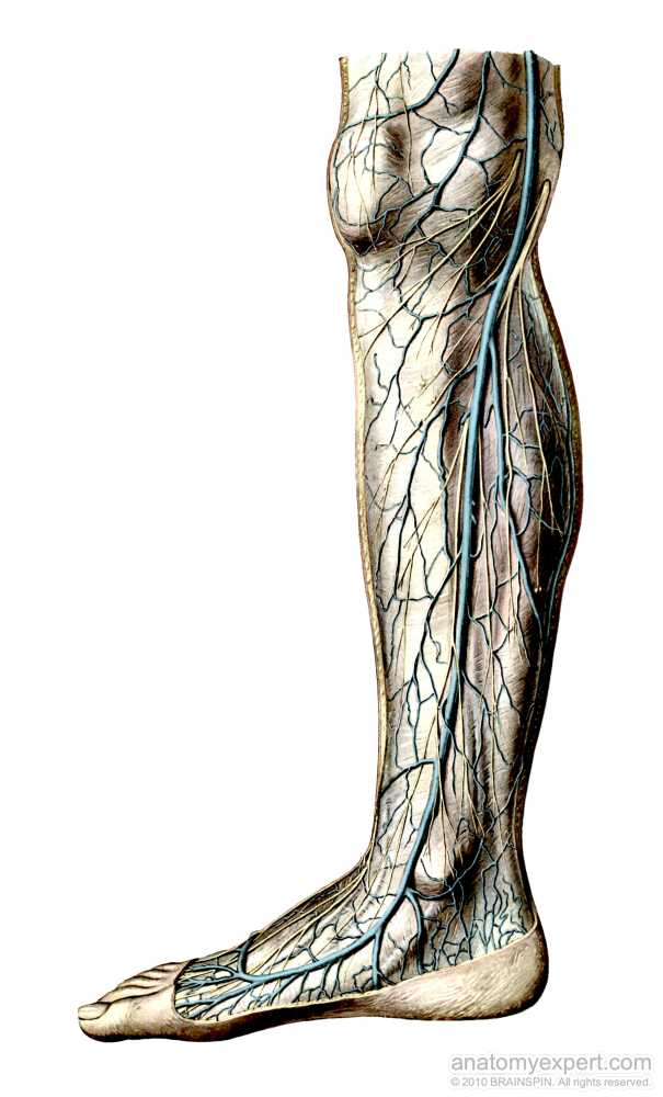 Niedlich V. Saphena Magna Galerie - Anatomie Ideen - finotti.info