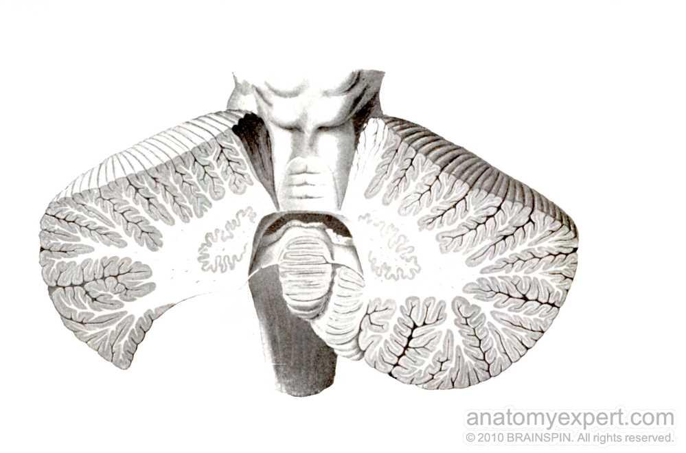 anatomyEXPERT - Superior cerebellar peduncle - Structure Detail