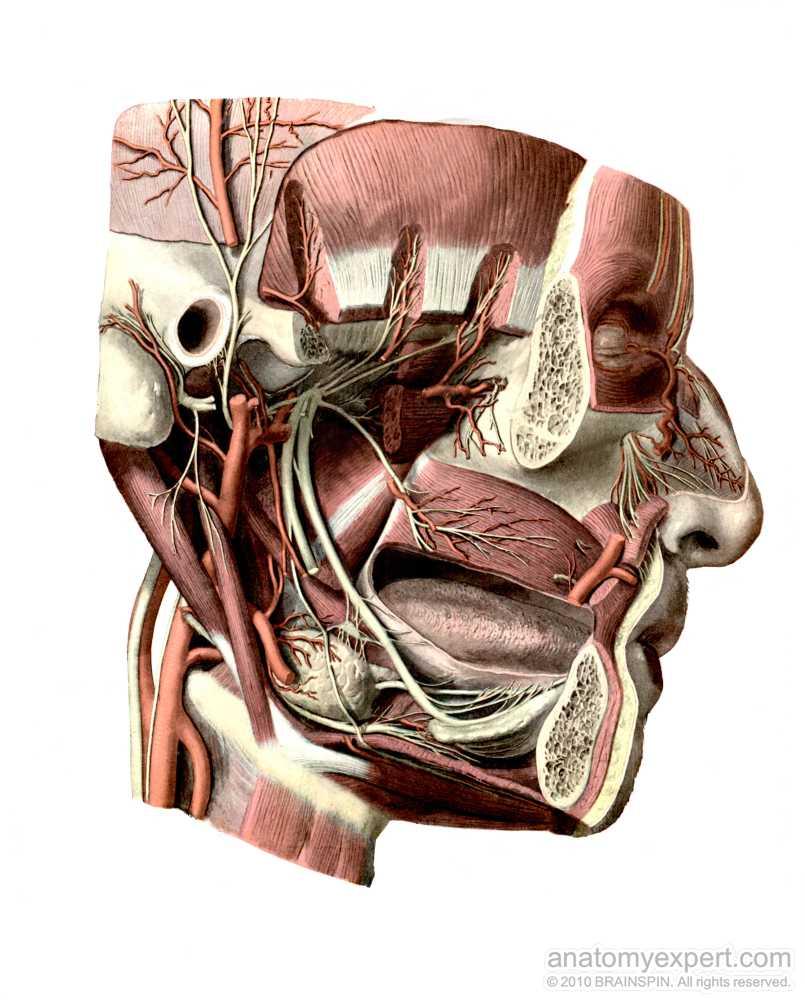 anatomyEXPERT - Lingual nerve - Structure Detail