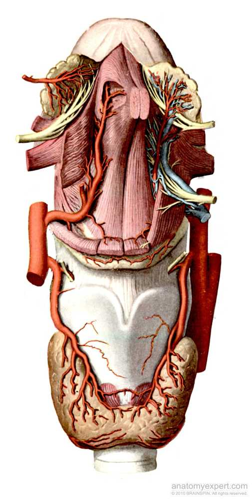 anatomyEXPERT - Lingual artery - Structure Detail