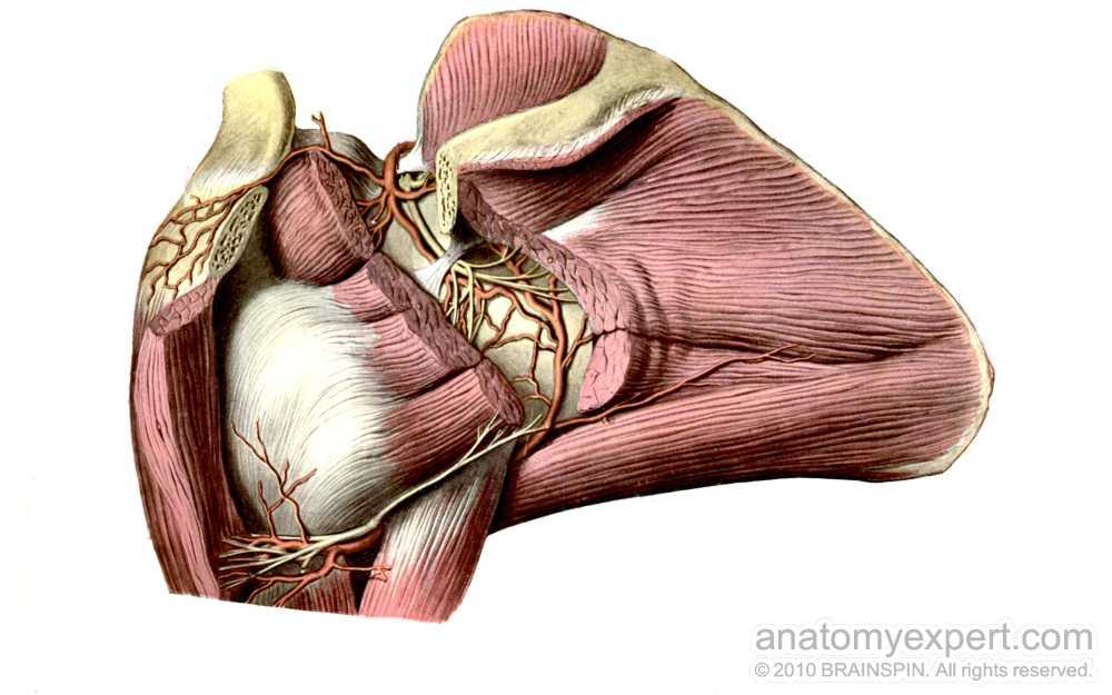 Anatomyexpert Triceps Brachii Structure Detail